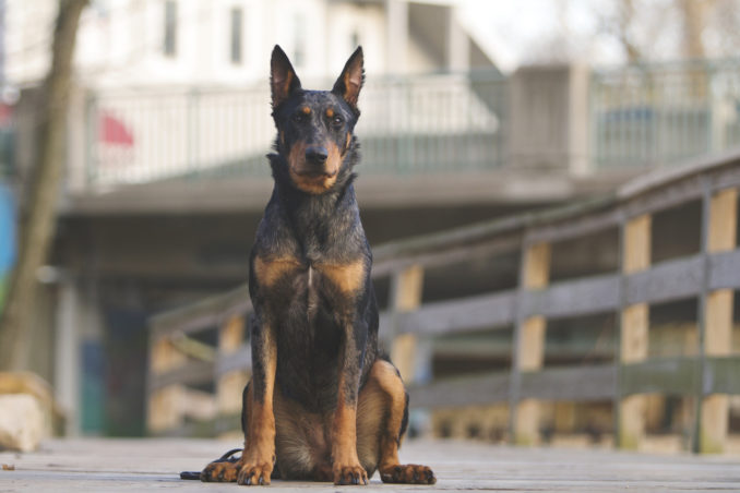 Beauceron with cropped ears