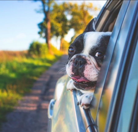 French Bulldog in car out window pet