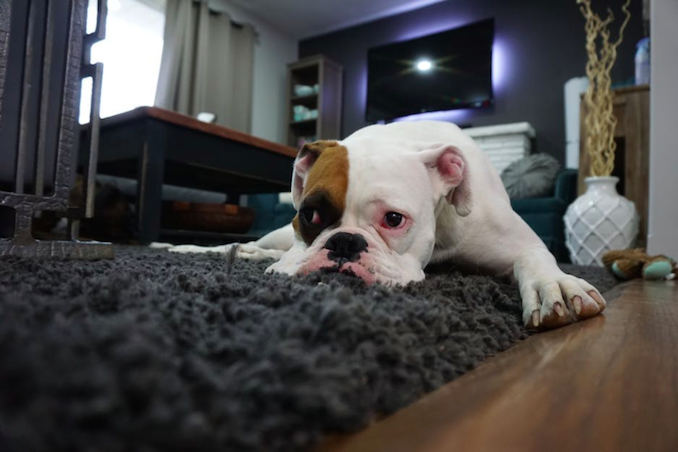 Bulldog on carpet home lounge room