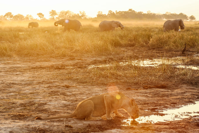 Lioness drinking water, elephants in background, Botswana