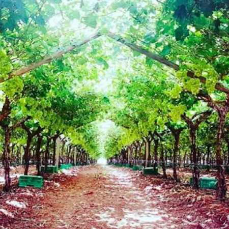 Grape Co orchard