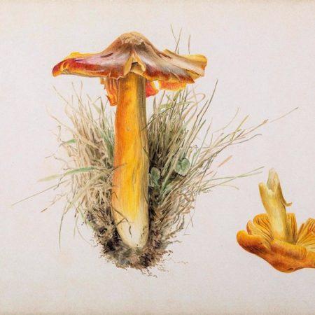 Beatrix Potter, Hygrophorus puniceus, pencil and watercolour, 7.10.1894,