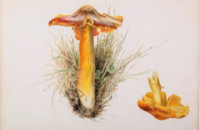 Beatrix Potter, Hygrophorus puniceus, pencil and watercolour, 7.10.1894,